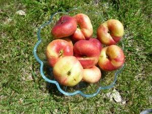Flat peaches_1_1