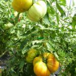 Grow organic tomatoes