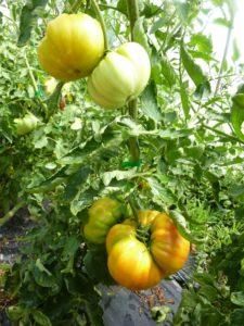 Organic farming Lavancia 19_8_1