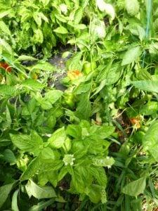 Organic farming Lavancia basil
