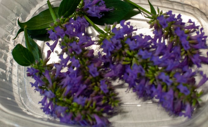 edible flowers Agastache