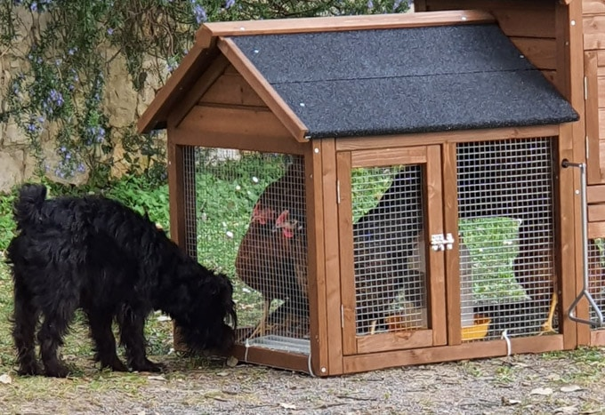 Hens in a cage looking at the dog