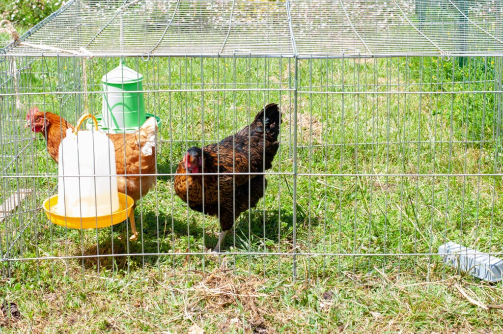 chicken in the metal cage