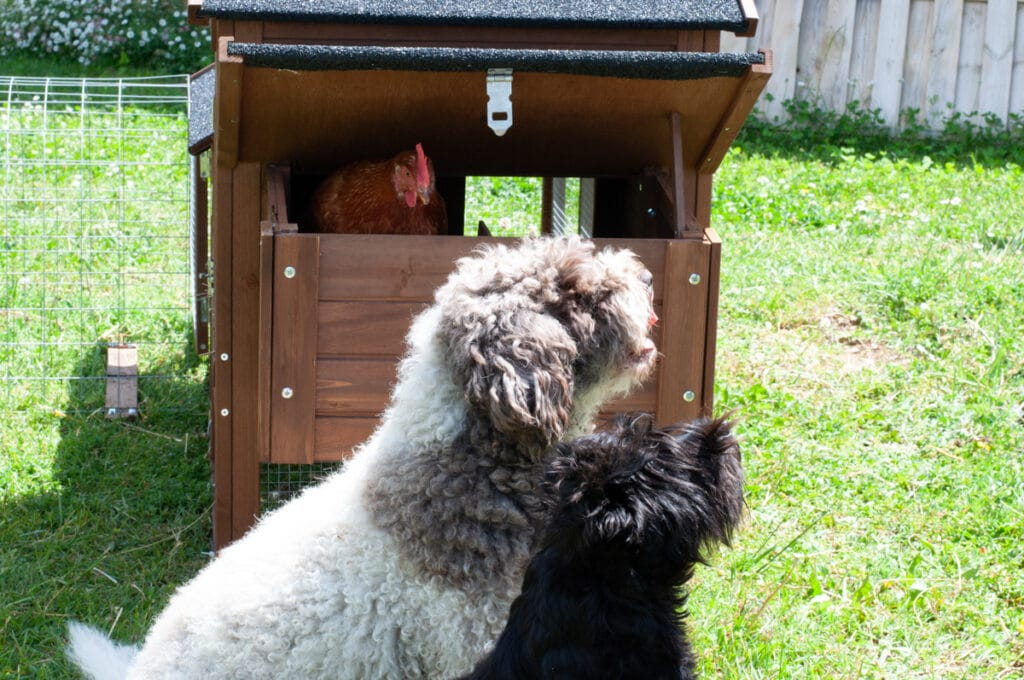 dogs looking up and chicken looking at them from a window in the coop